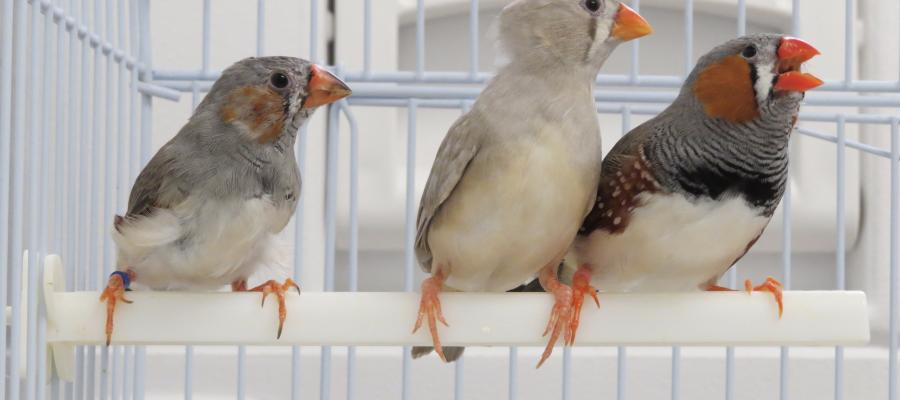Juvenile male zebra finches model their song structure on that of an adult 'tutor' bird—a process based on a memory they form of the tutor's song.